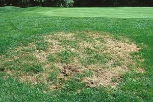 grub-grass